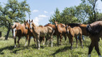 Auf dem Bild sind mehrere Freiberger-Pferde zu sehen - auf einer Wiese im Kanton Jura.