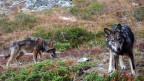 Zwei Wölfe im Oberwallis, aufgenommen im November 2016 durch eine Fotofalle der Gruppe Wolf Schweiz.