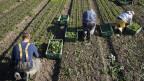 Symbolbild. Arbeiter pflücken auf einem Feld Nüsslersalat.
