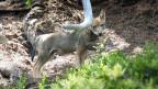 Jungwolf aus dem neu gebildeten Wolfsrudel Stagias in der Surselva.