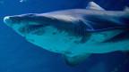 Sandtigerhai. Symbolbild