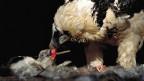 Ein erwachsener Bartgeier füttert ein Küken in seinem Nest, er ist schwarzweiss, das Junge hat erst Flaum am Körper.