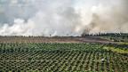 Nach Erkenntnissen von «Profundo» hat die Grossbank Crédit Suisse mit Abstand am meisten Palmöl-Investments in Indonesien. Zwischen 2009 und Mitte 2016 waren es gut 900 Millionen Dollar. Credit Suisse bestreitet das auf Anfrage nicht. Bild: Hinter neuen Palmölpflanzungen steigt am Horizont Rauch auf – von Brandrodungen.