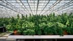Anbau von Cannabis-Pflanzen in einem Gewaechshaus.