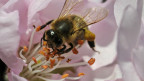 Das Bienensterben gibt der Wissenschaft Rätsel auf.