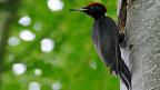 Artenvielfalt betrifft die ganze Gesellschaft. Bild: Mit dem Schwarzspecht lancierte der Schweizer Vogelschutz vor drei Jahren die fünfjährige Kampagne «Biodiversität - Vielfalt im Wald».