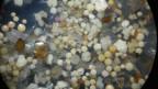Probe aus dem Rhein bei Duisburg mit über 65% opaken Mikroplastikkügelchen in 15-facher Vergrösserung; der Durchmesser der Kügelchen beträgt 400–900 Mikrometer.