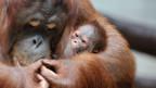 Orang Utans gehören zu den geschützten Tierarten.