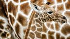 Innert 30 Jahren 70'000 Tiere weniger: Nun zählt auch die Giraffe zu den bedrohten Arten.