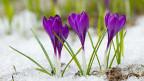 Es ist eine Wohltat, wenn der kalte Schnee des Winters den ersten Frühlingsblumen weicht.