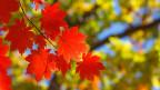 Rote Blätter.