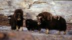 Moschusochsen auf Grönland.