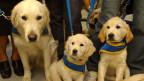 Grosser Blindenhund und zwei Welpen (Golden Retriever)