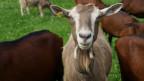 Ziege inmitten einer Herde schaut neugierig in die Kameralinse.
