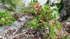 Bärentraube mit roten Beeren auf Fels.