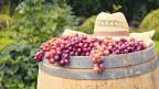 Hölzernes Fass voller Trauben mitten auf Rebberg.