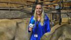 Die blondhaarige Reporterin trägt eine blaue Jacke und steht zwischen zwei Kühen in einem Stall.