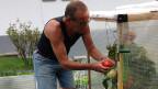 Der Rentner pflückt im Garten eine reife Tomate.