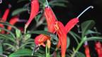 Blume mit länglichen Blüten in orange-rot.