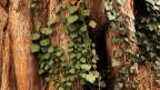 Baum mit Efeu.