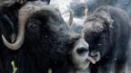 Ein Bild aus dem Dählhölzli: Eine Moschusochsen-Kuh leckt ihr Neugeborenes.