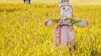 Eine Vogelscheuche steht mitten in einem Weizenfeld.