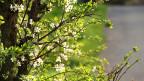 Baum mit Blüten.