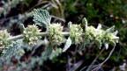 Ein grüner Stängel mit weissen Blüten.