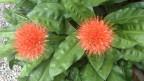 Zwei Blütenkugeln der Blutblume.