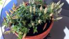Eine Pflanze mit vielen Blüstenknospen.