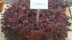 Die Cranberry-Pflanze mit ihren langen, herunter hängenden Trieben.
