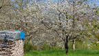 Blühende Bäume in einem Obstgarten.