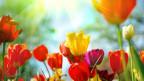 Tulpen und Sonnenstrahlen.