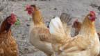 Vier braune Hühner.