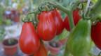 Die Tomatensorte «Red Pear».