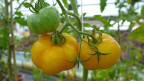 Gelbe Tomaten an einem Strauch.