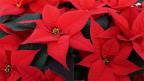 Leuchtend rote Blüten des Weihnachtssterns.