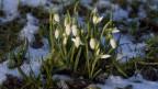 Schneeglöcklein wachsen auf einer schneebedeckten Wiese.