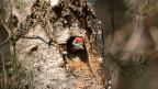 Ein Specht schaut aus der Baumhöhle.