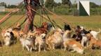Mehrere Hunde an Leine.