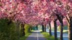 Allee mit blühenden Kirschbäumen.