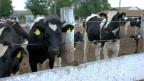 Kühe warten im Gehege.