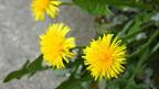 Drei Löwenzahn-Blüten im Gras.