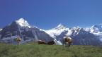 Kühe weiden auf einer Alp.