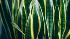 Blätter eines Bogenhanfs. Innen grün, aussen gelblich.