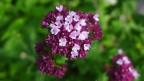 Violette Blüten des Oregano.