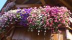 Blumen die hängen in Töpfen.