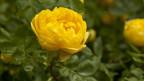Eine gelbe Rose.