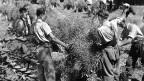 Männer bei der Ernte.