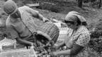Ein Bauer und eine Bäuerin bei der Aprikosenernte.